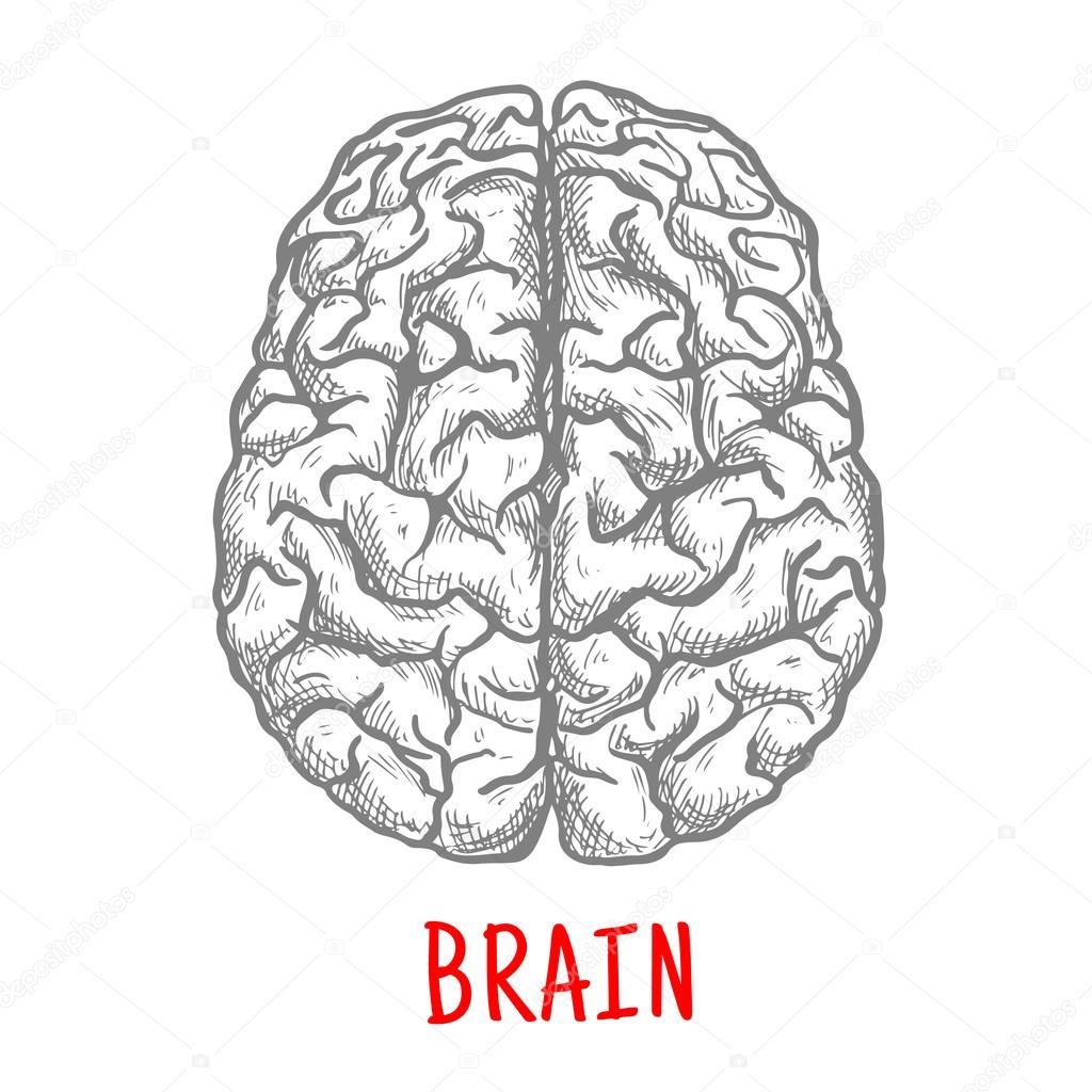 Bovenaanzicht Van Menselijke Hersenen