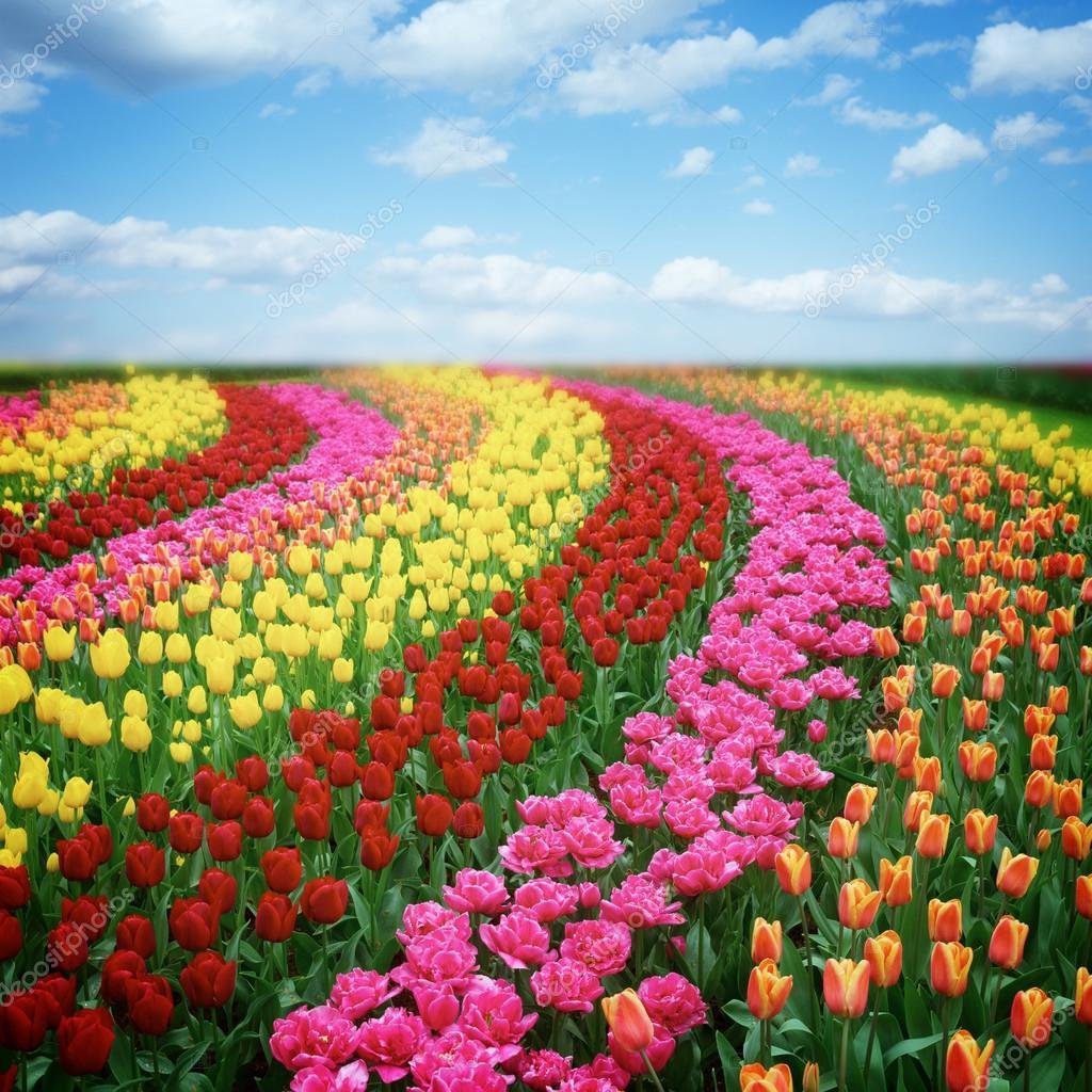 niederlndische bunte Tulpen Felder im sonnigen Tag