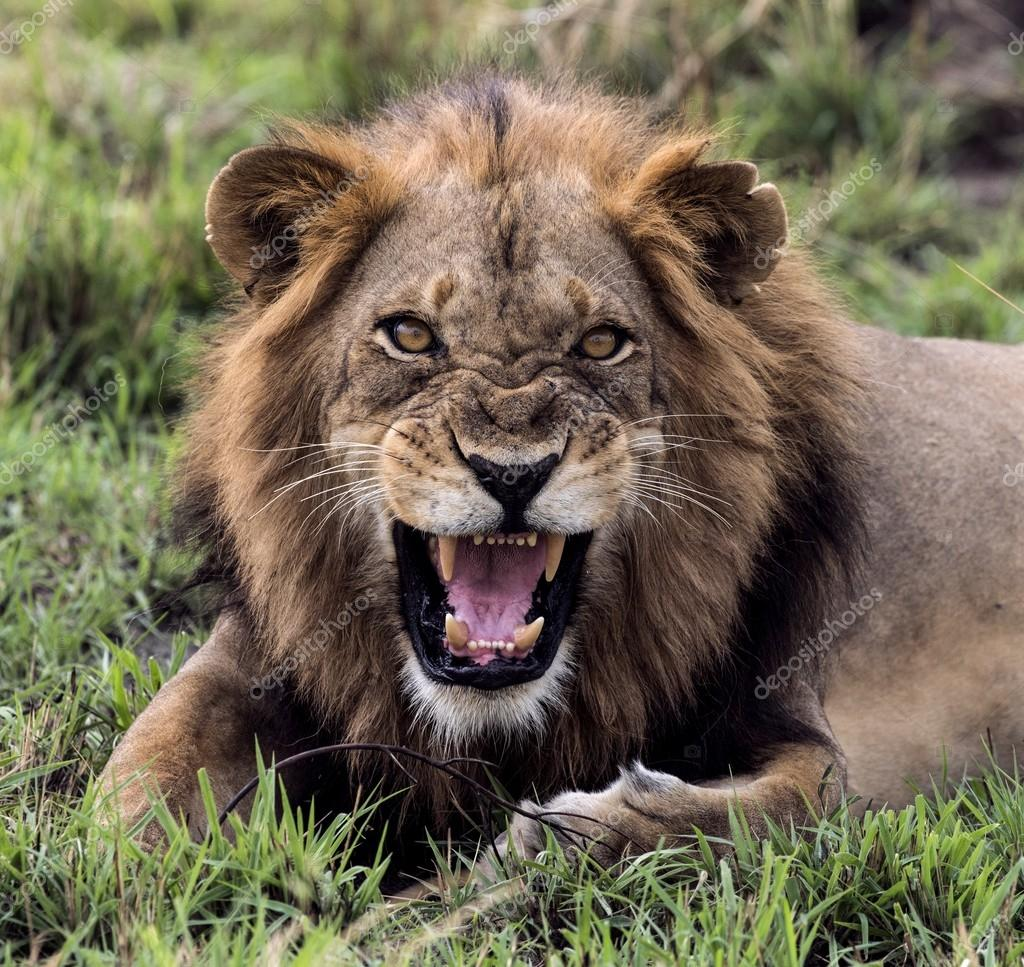 angry lion showing teeth
