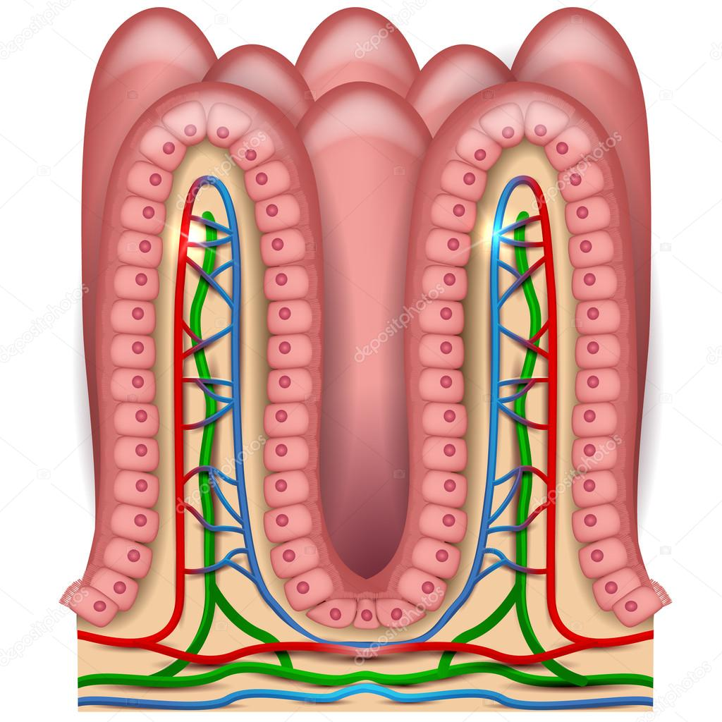hight resolution of intestinal villi anatomy stock vector