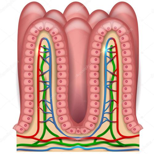 small resolution of intestinal villi anatomy stock vector