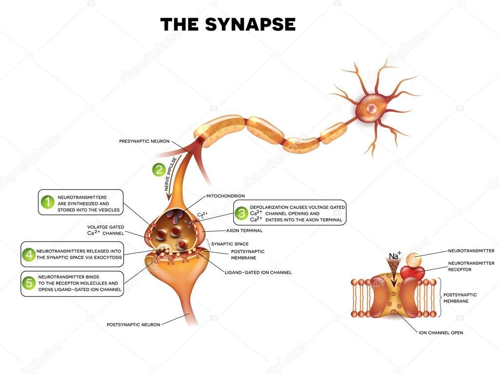 detailed neuron diagram nissan x trail t31 wiring synapse anatomy stock vector c megija 103936006 depositphotos illustration jpg