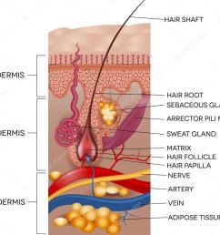labeled skin and hair anatomy detailed medical illustration vector by megija [ 1024 x 890 Pixel ]
