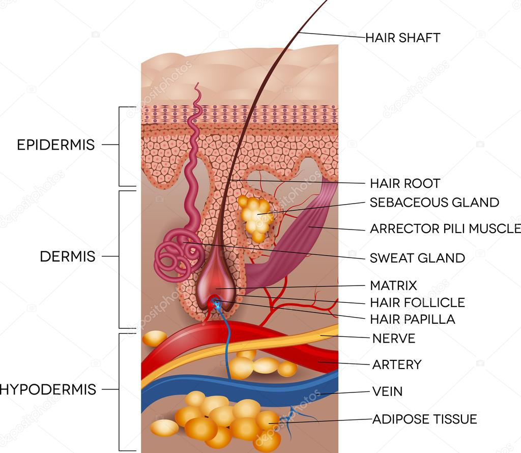 hight resolution of labeled skin and hair anatomy detailed medical illustration vector by megija