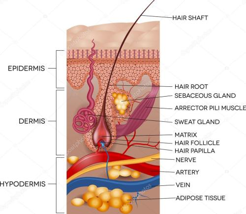 small resolution of labeled skin and hair anatomy detailed medical illustration vector by megija