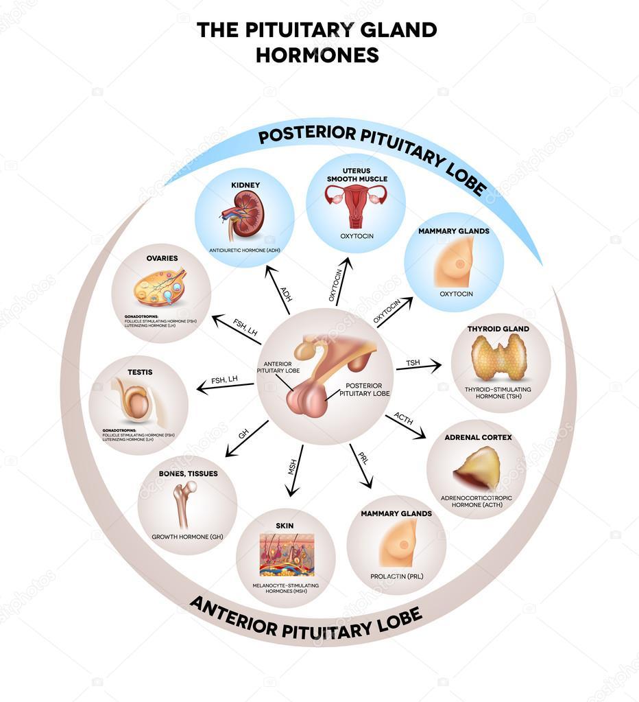 medium resolution of pituitary gland hormones round diagram stock vector