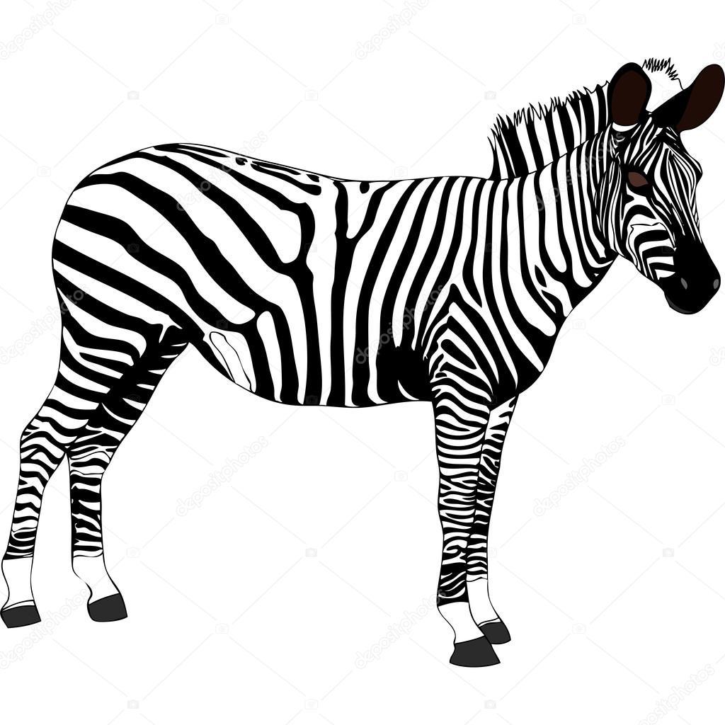 Zebra In African | Wiring Diagram Database