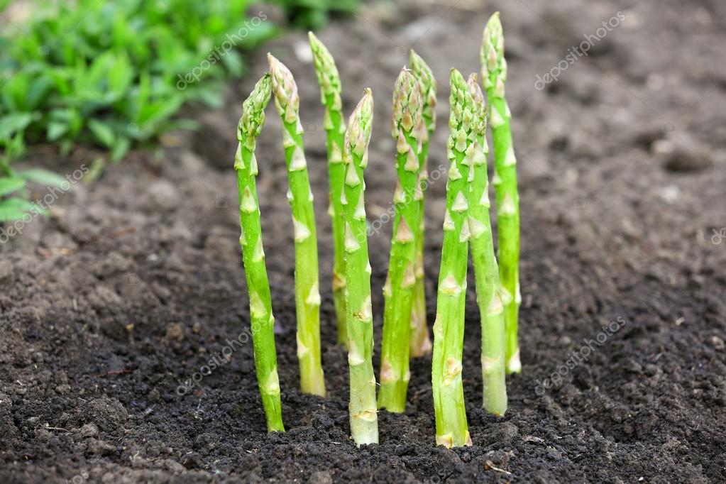 黒い土で有機栽培アスパラガス — ストック寫真 © belchonock #74671699