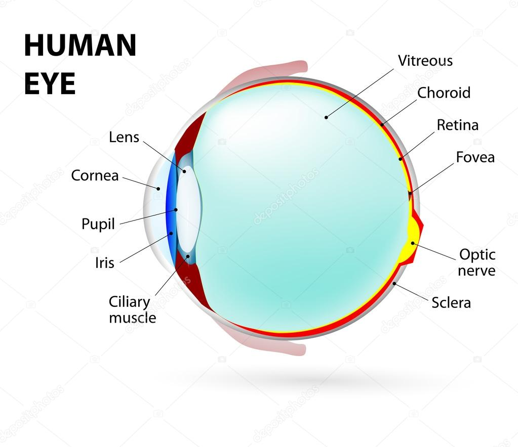 hight resolution of schematic diagram of the eye human anatomy labeled vector by