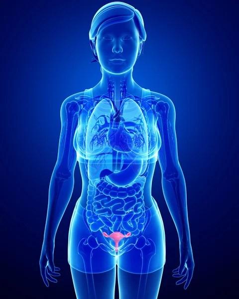 Gambar Rahim Manusia : gambar, rahim, manusia, Rahim, Besar, Foto,, Gambar, Bebas, Royalti, Depositphotos®