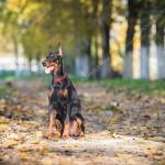 Doberman Dog Puppy Stock Photo C Fotokostic 90038492