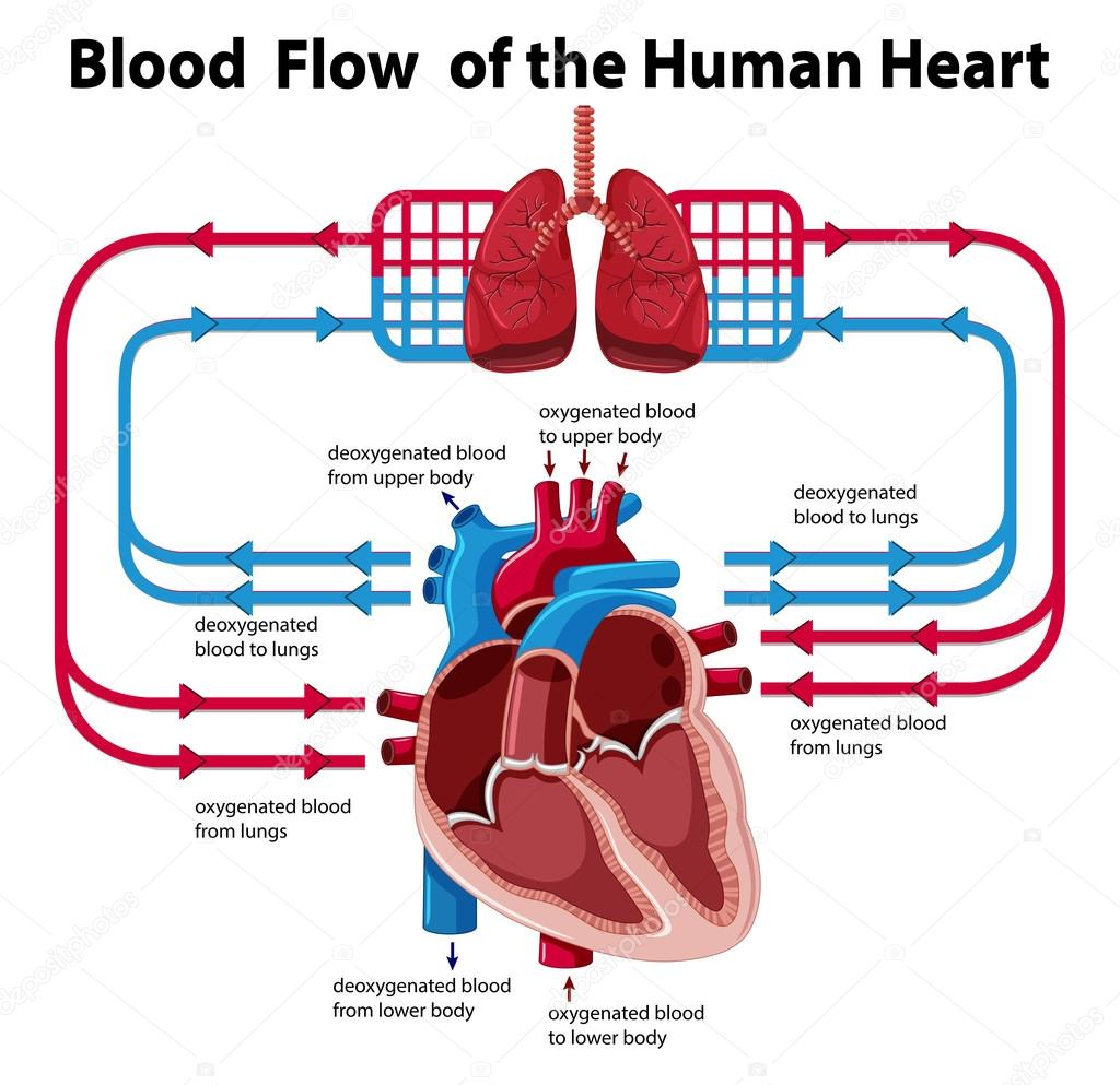 Heart Anatomy And Blood Flow