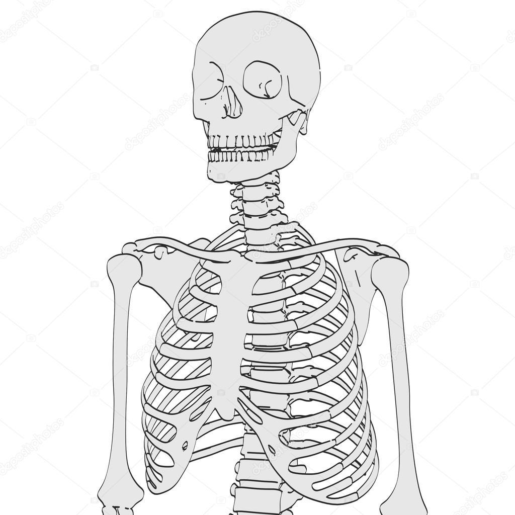 2d Cartoon Illustration Of Human Skeleton