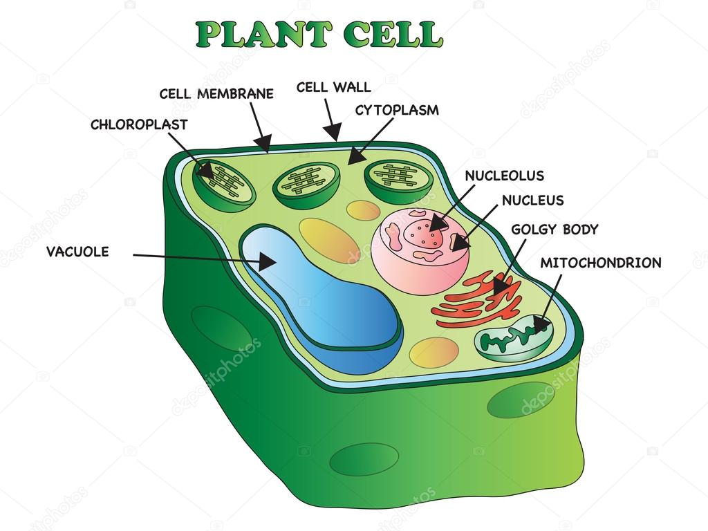 plant cell diagram with definitions vw polo 6n2 stereo wiring structure  stock photo casaltamoiola 98155314