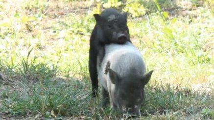 Resultado de imagen para sexo de los cerdos