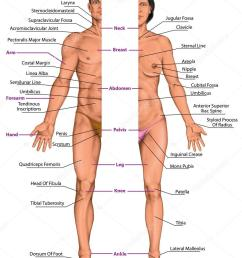 male and female anatomical body surface anatomy human body shapes anterior view  [ 829 x 1024 Pixel ]