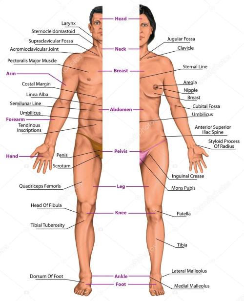 small resolution of male and female anatomical body surface anatomy human body shapes anterior view