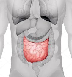 small intestine diagram in human vector de stock [ 831 x 1023 Pixel ]