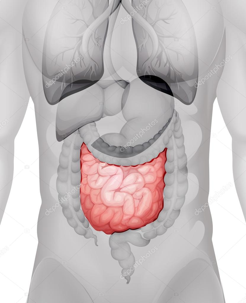 medium resolution of small intestine diagram in human vector de stock