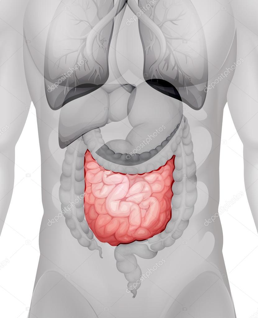 hight resolution of small intestine diagram in human vector de stock