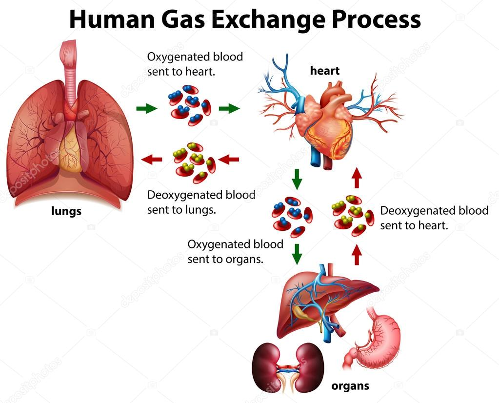 hight resolution of human gas exchange process diagram stock vector