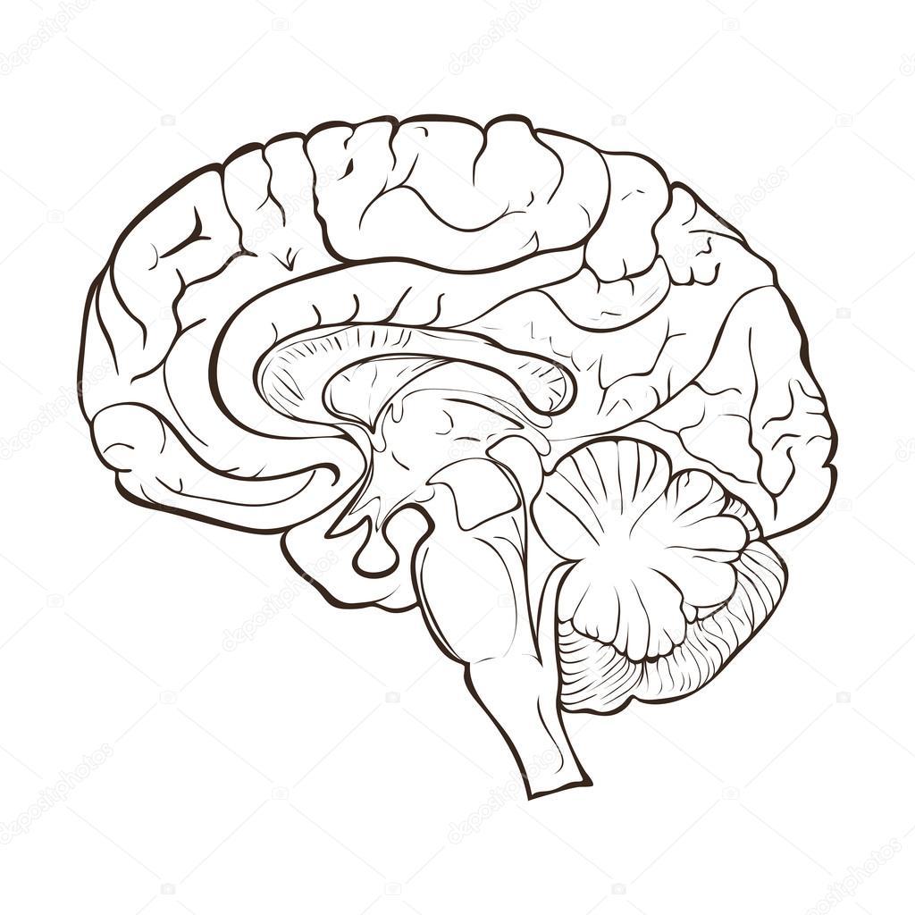 Human Brain Diagram Blank
