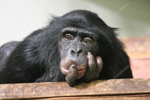 chimpanzee chimp face head sad monkey ape Common