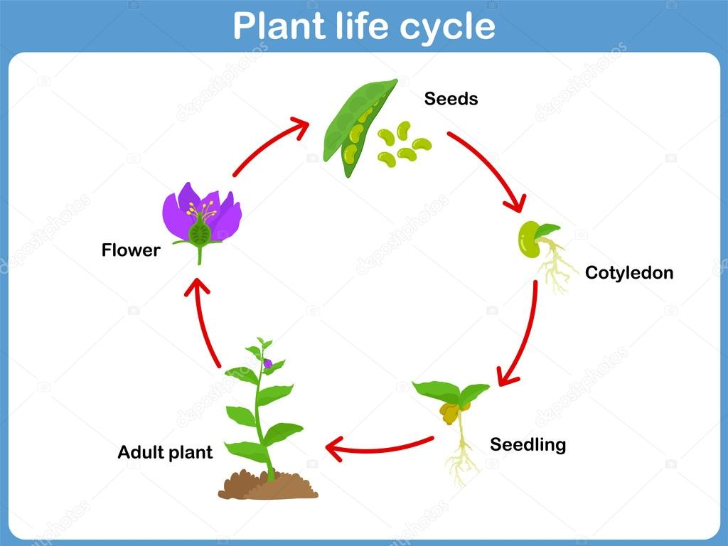 Vector Life Cycle Of A Plant For Kids