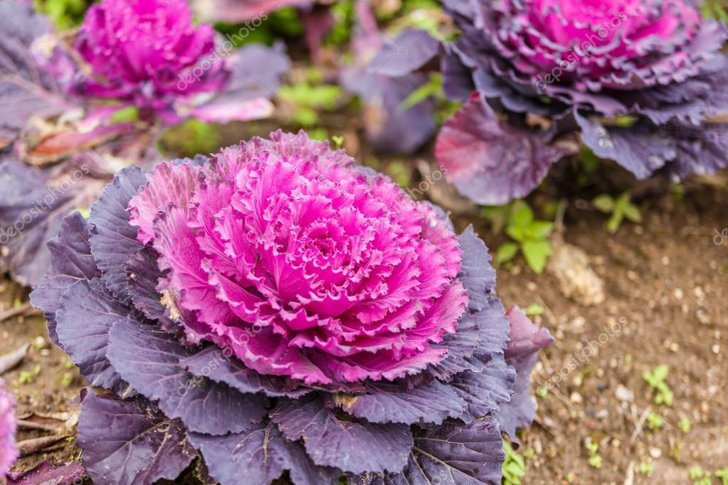 紫色的生菜植物 — 圖庫照片©wittybear#61541069