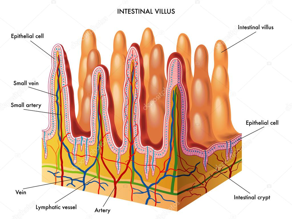 hight resolution of structure of villi and microvilli showing arteries veins nerve and lymph vessel small intestine vector diagram vector by rob3000