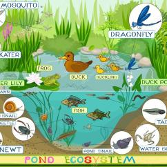 Pond Ecosystem Diagram 2007 Ford Focus Fuse Box Of Duck  Stock Vector Mariaflaya 88280580