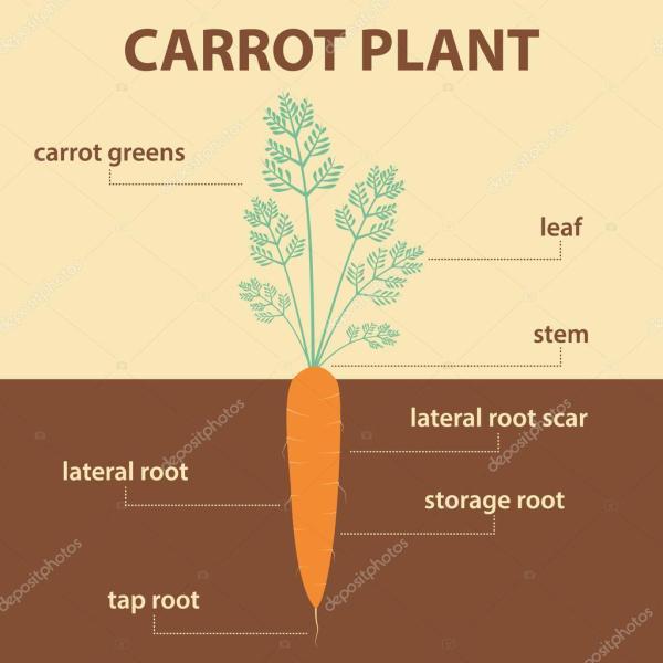 Diagrama Vectorial Muestra Partes De La Planta Entera