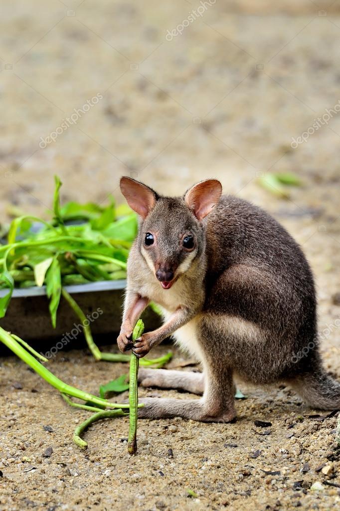 baby kangaroo stock photo