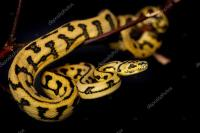 Jaguar Carpet Python Care  Floor Matttroy