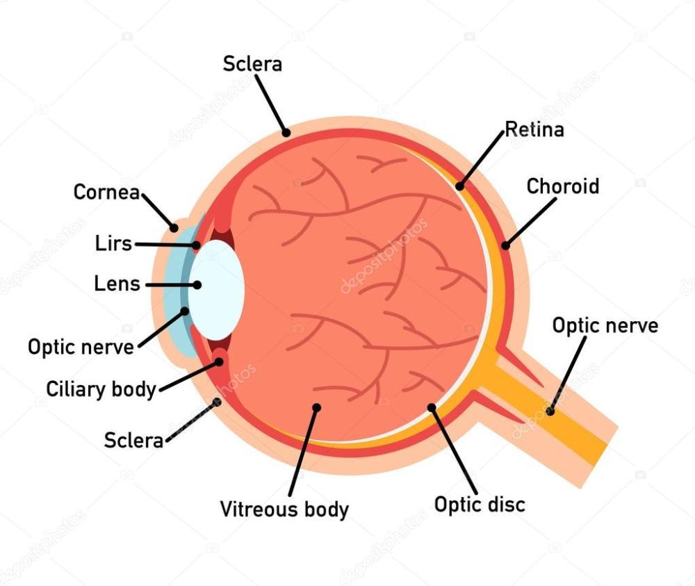 medium resolution of eye anatomy diagram vector illustration vector by jehsomwang