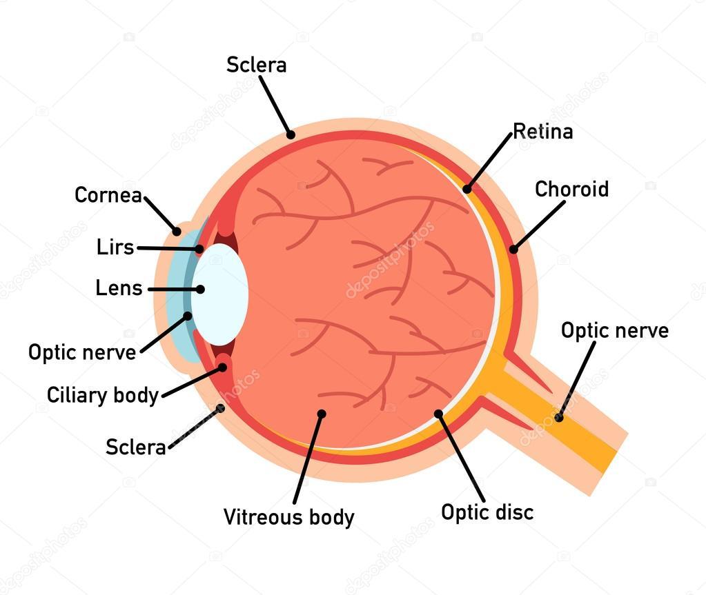 hight resolution of eye anatomy diagram vector illustration vector by jehsomwang