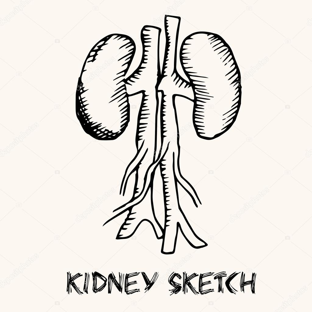 Images Human Kidney Sketch