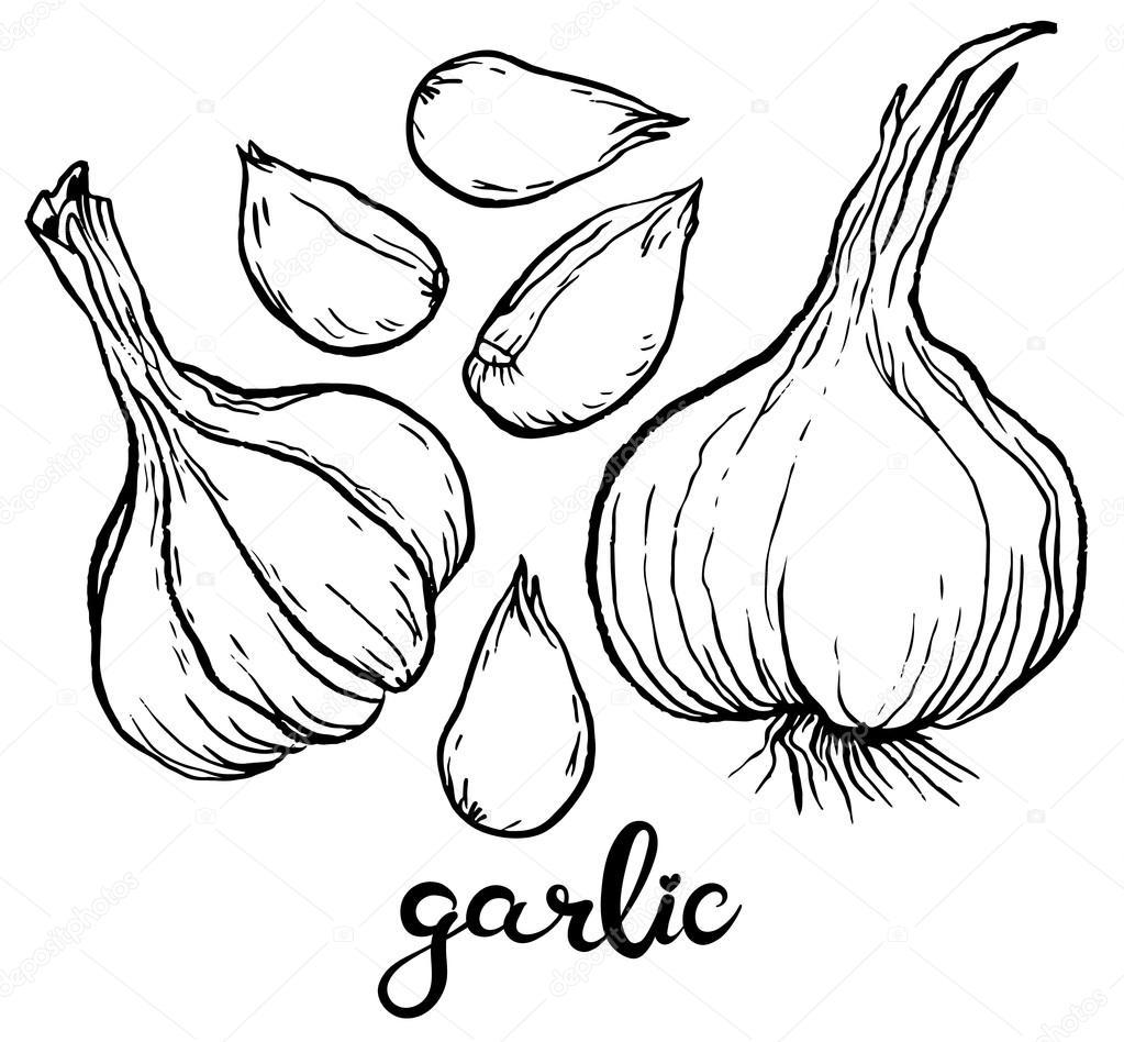 Garlics and cloves of garlic — Stock Vector © AnnaSuchkova