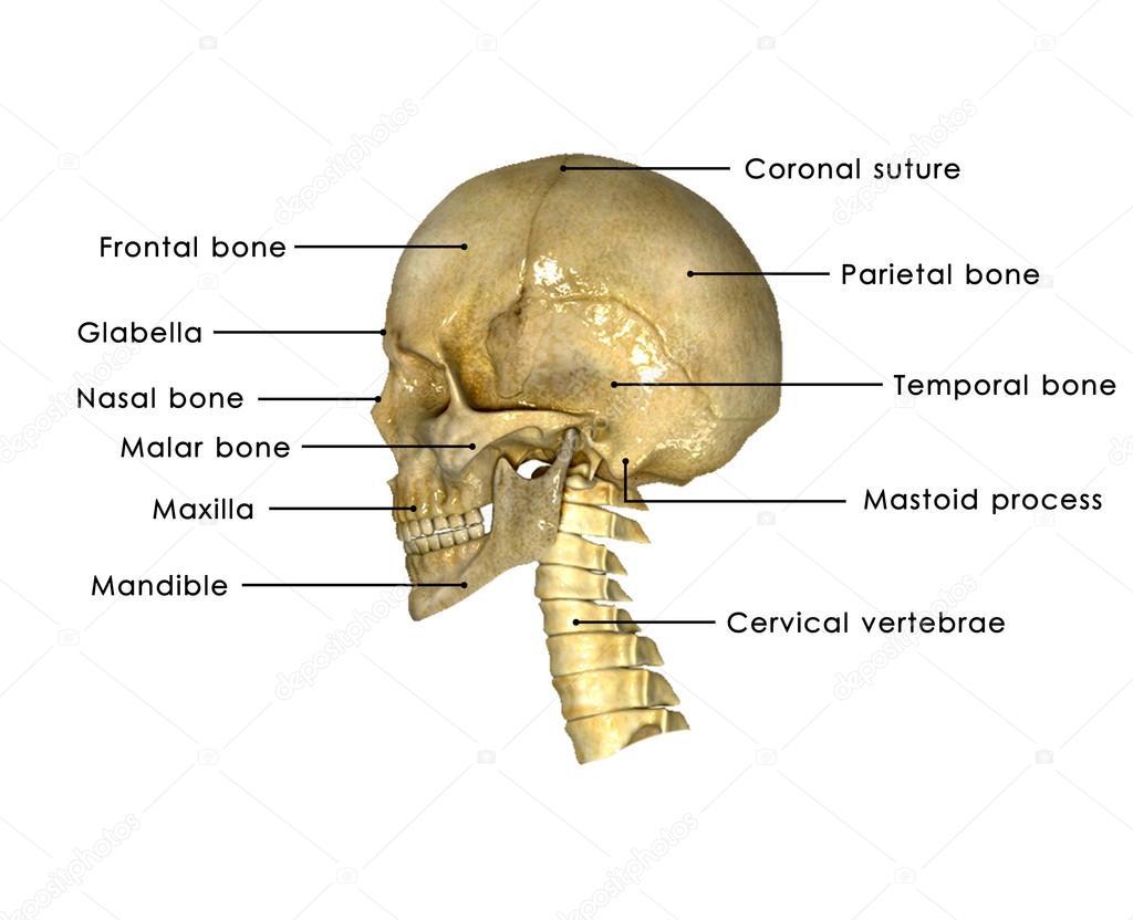 hight resolution of side face vertebrae stock photo