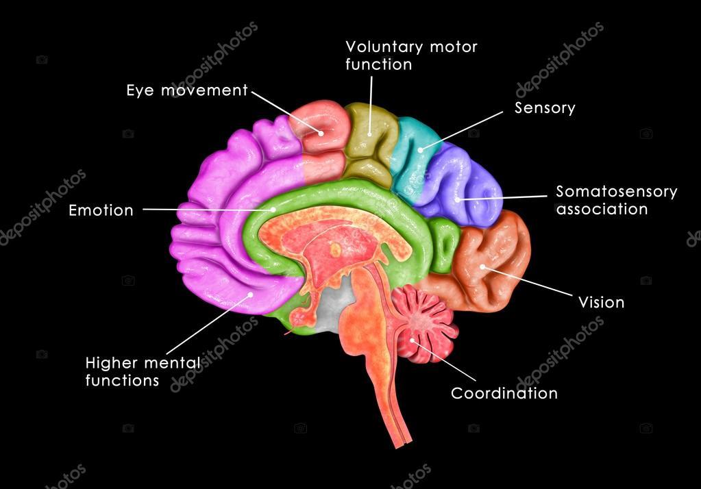 internal brain diagram wiring for 12 volt driving lights parts stock photo c sciencepics 72995187