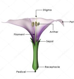 datura flower diagram stock photo [ 1023 x 906 Pixel ]