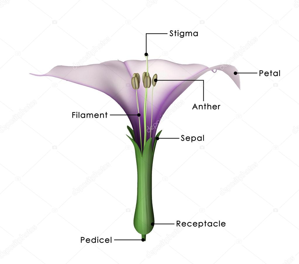 hight resolution of datura flower diagram stock photo