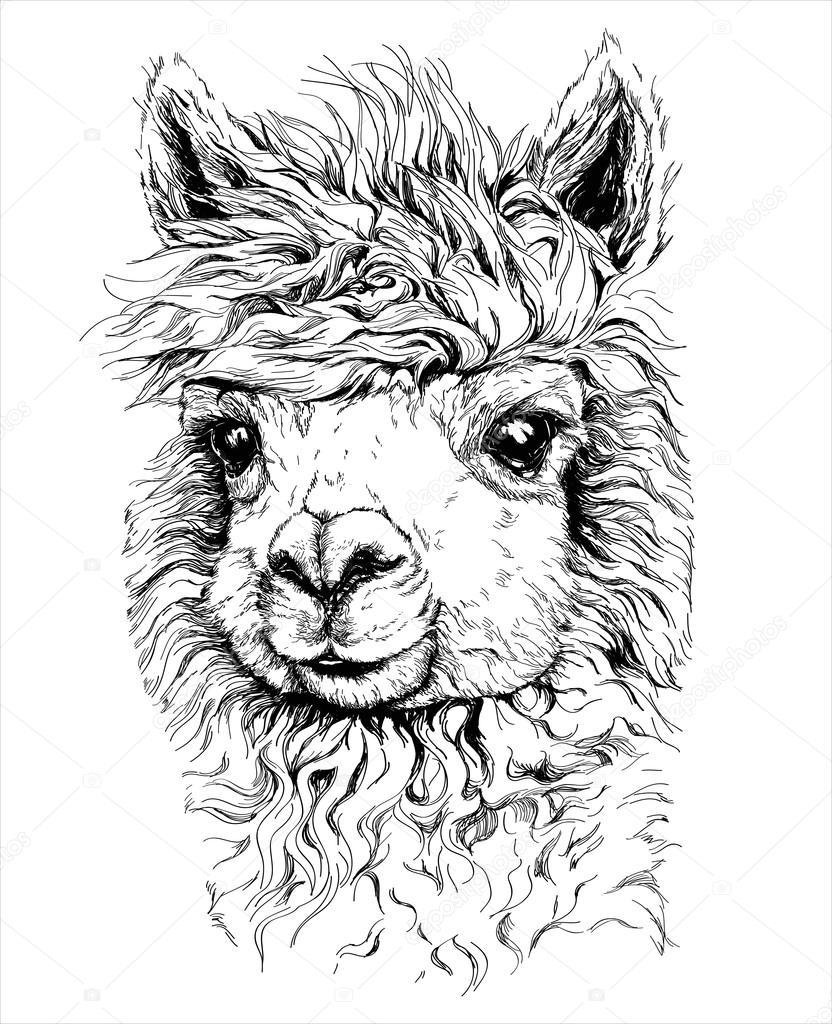 Realistyczne szkic Lama alpaki — Grafika wektorowa © Diana