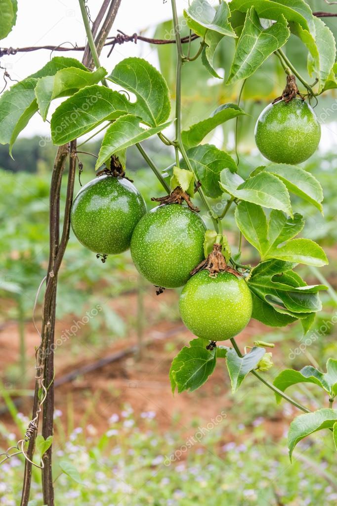 Arbre Fruit De La Passion : arbre, fruit, passion, Passion, Arbre, Fruitier, Image, Libre, Droit, Jpkirakun, #119297526