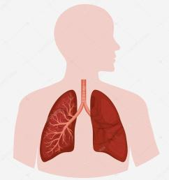 human lung anatomy diagram stock vector [ 1024 x 1024 Pixel ]