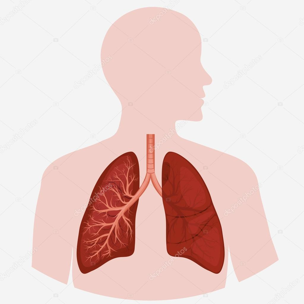 hight resolution of human lung anatomy diagram stock vector