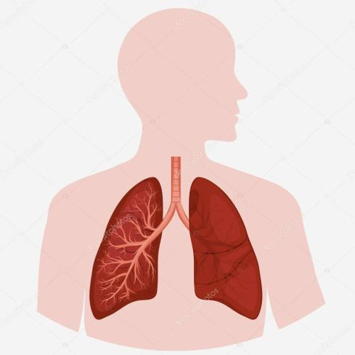small resolution of human lung anatomy diagram stock vector