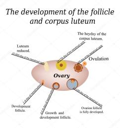 it shows the development of ovarian follicle and corpus luteum vector illustration on isolated background [ 1024 x 1024 Pixel ]