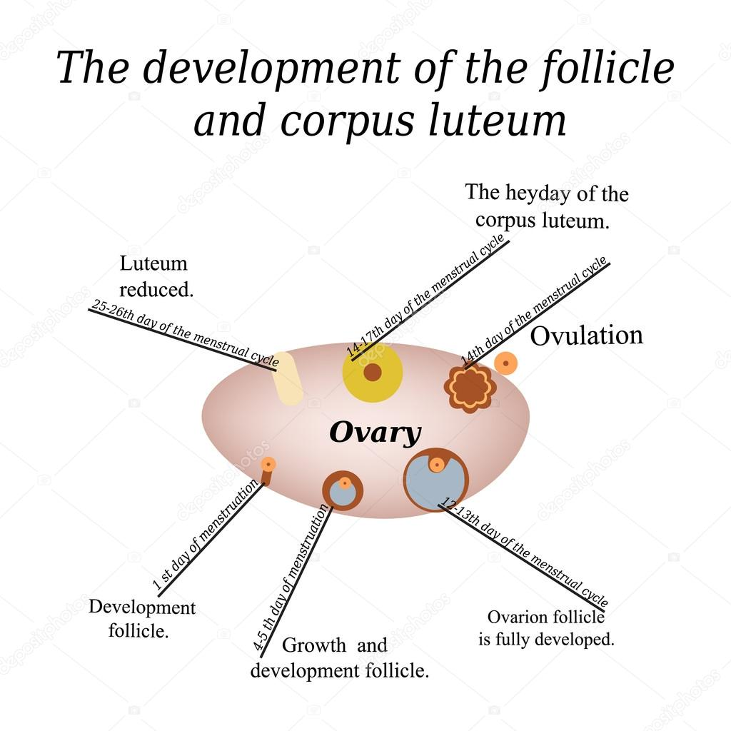 hight resolution of it shows the development of ovarian follicle and corpus luteum vector illustration on isolated background