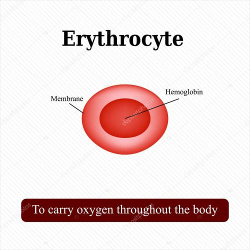 small resolution of the structure of the red blood cell erythrocyte vector illustration stock vector